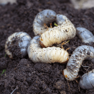These grubs eat your grass roots and cause brown spots in your lawn