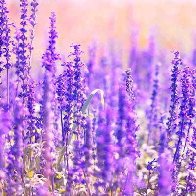 lavendar tick repellent