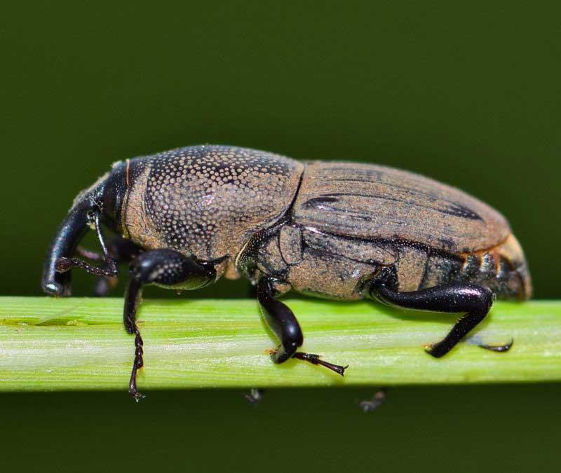 billbug lawn pest control