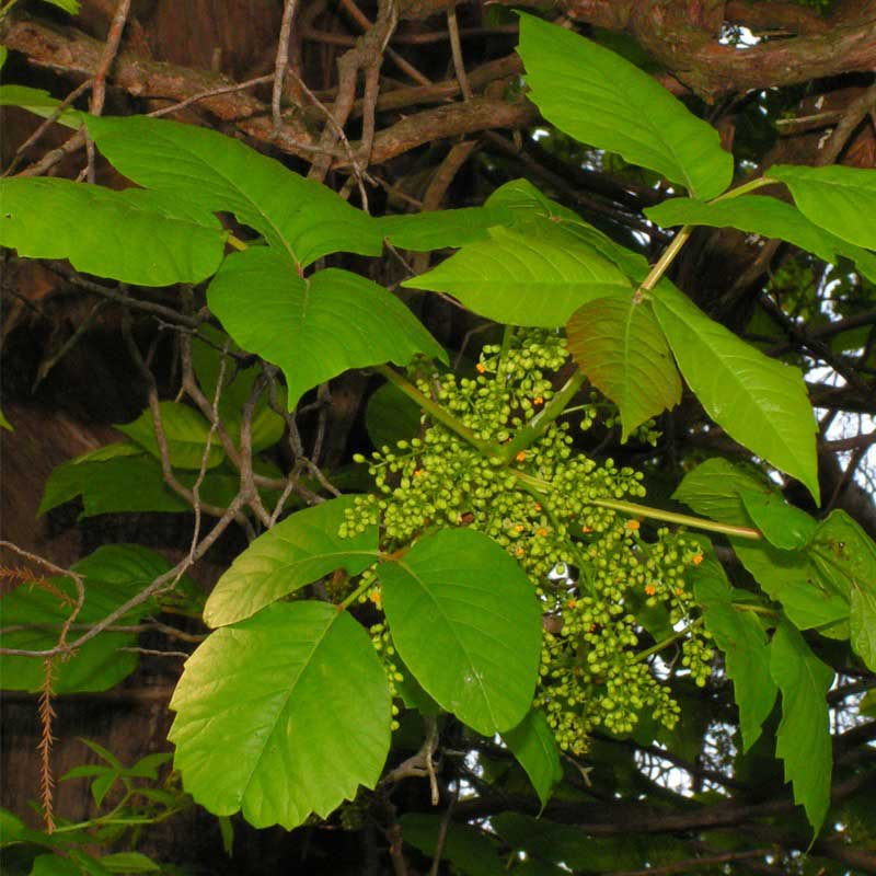 3 Most Common Poisonous Plants Found In New Jersey